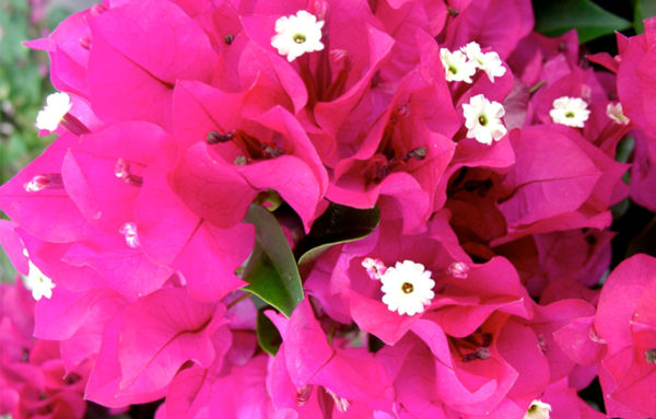 Bougainvillea Vera Deep Purple