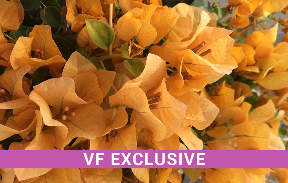 Bougainvillea - Topaz Gold, Exclusive of Vista Farms