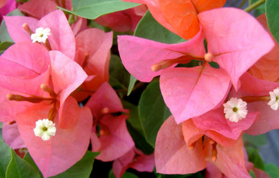 Bougainvillea Afterglow