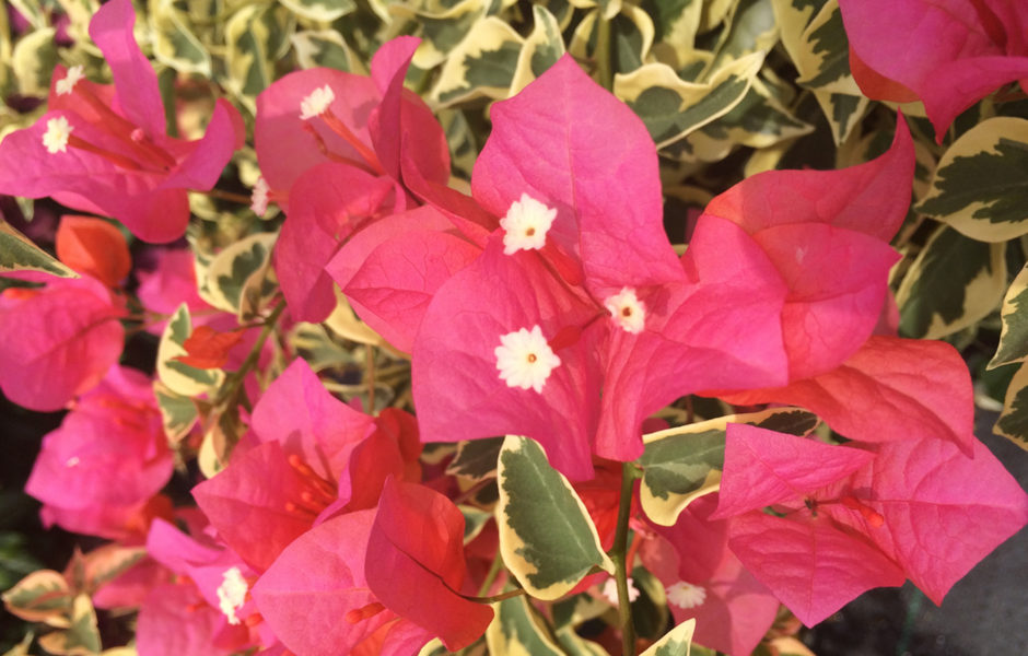 Bougainvillea Bengal Orange