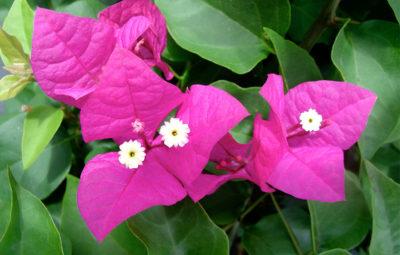 Bougainvillea - Miami Pink