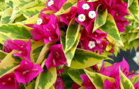 Bougainvillea Pixie Queen