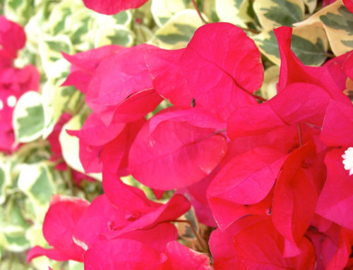 The stunner blooming of Bougainvillea Raspberry Ice