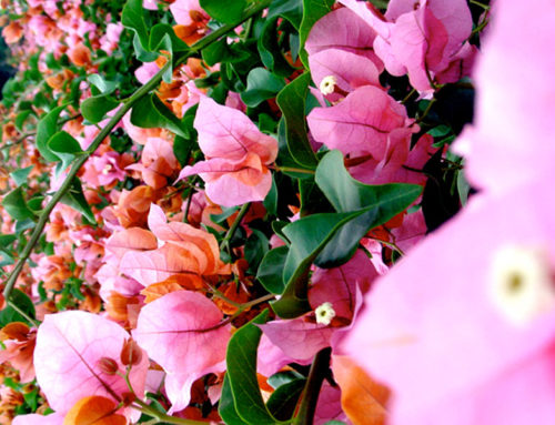 The sensational colors of Bougainvillea Rosenka