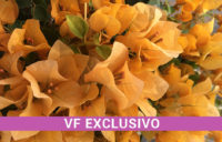 Bougainvillea - Topaz Gold, Exclusive of Vista Farms