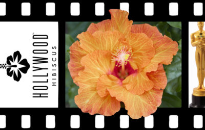 Hollywood Hibiscus Best Friend