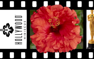 Hollywood Hibiscus Bombshell
