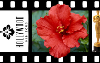 Hollywood Hibiscus First to Arrive