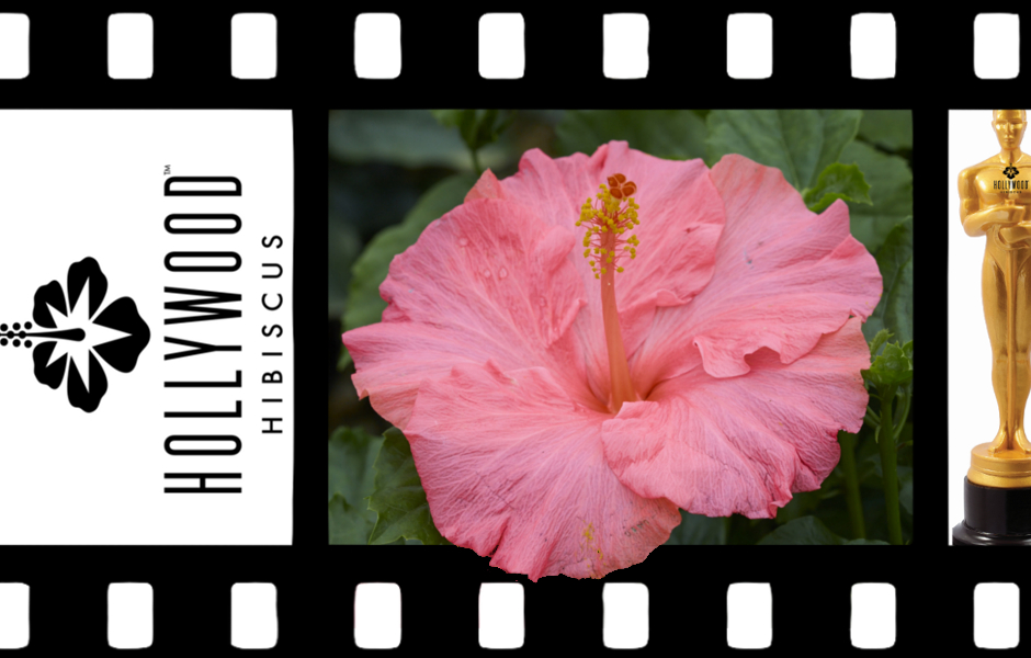 Hollywood Hibiscus Jolly Polly