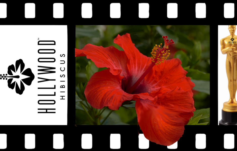 Hollywood Hibiscus Socialite