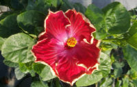 Fancy Hibiscus - Curly Top