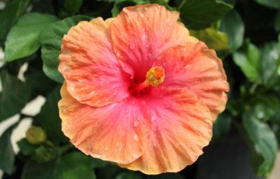 Hibiscus - Pink Vista