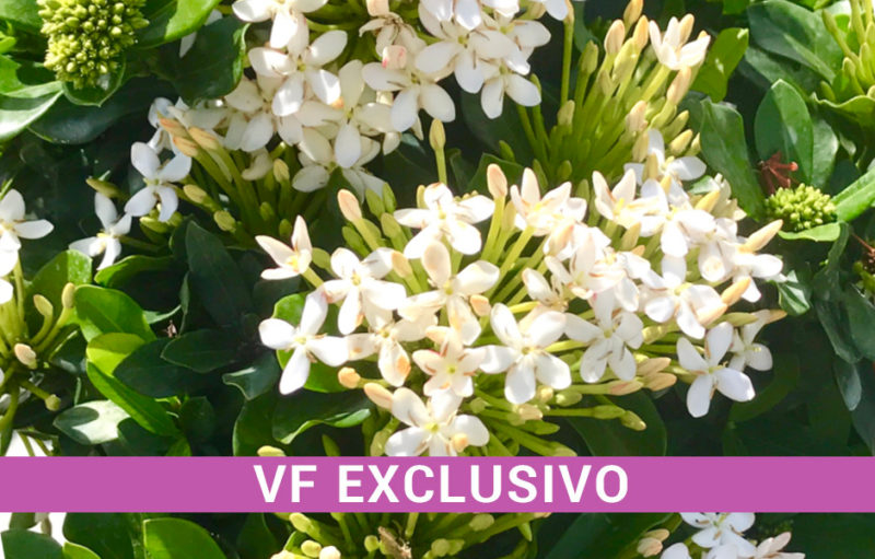 Ixora - VF Maria Exclusiva