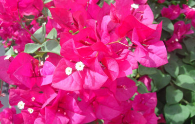 Bougainvillea San Diego Red