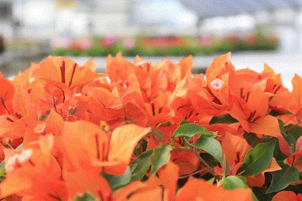 Fire Opal VF Exclsive bougainvillea from 15 Spring Trials - Aniversario