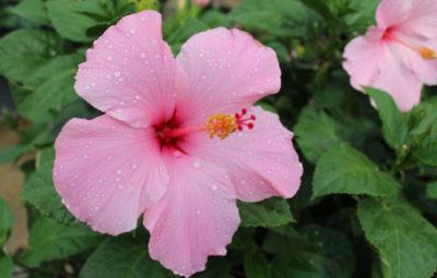 Hibiscus Seminole Pink