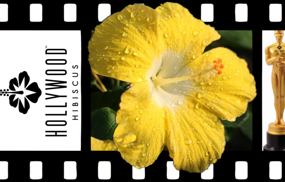 Hibiscus Hollywood - Leading Lady