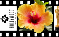Hollywood Hibiscus - Social Butterfly