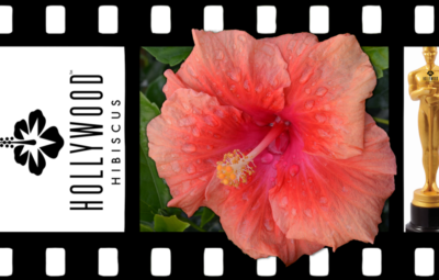 Hollywood Hibiscus - VF - First to Flirt