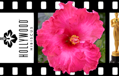 Hollywood Hibiscus - VF - Glamour Gal