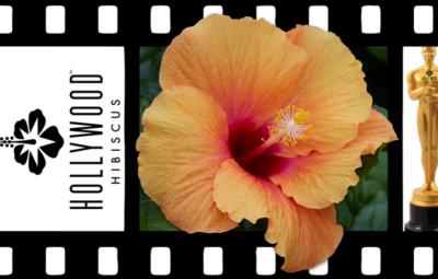 Hollywood Hibiscus - VF - Gossip Queen