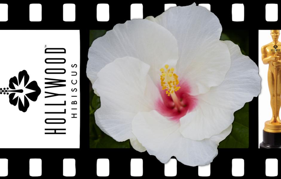 Hollywood Hibiscus - VF - Starstuck