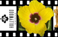 Hollywood Hibiscus - Queen Bee