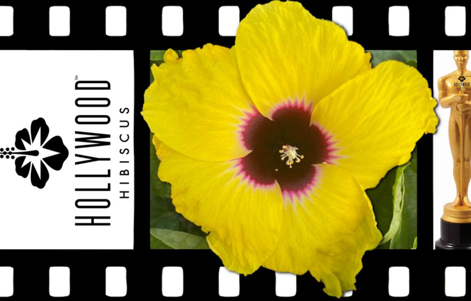 Hollywood Hibiscus - Queen Bee